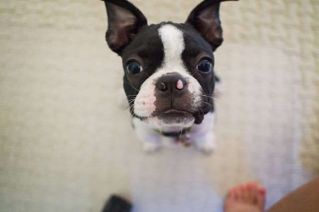 what-to-do-before-bringing-home-boston-terrier-puppy