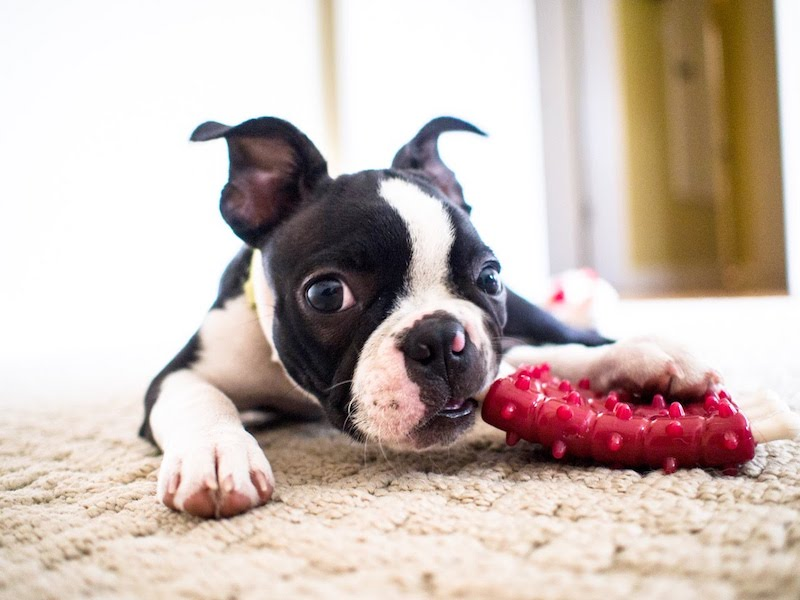 How To Get Ready for a Boston Terrier Puppy