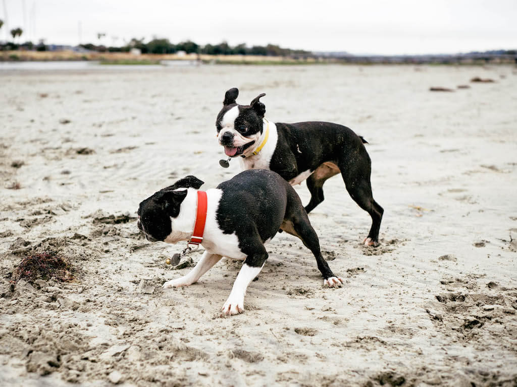 Are Boston Terriers Born With or Without Tails?