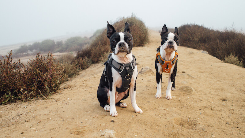 at-what-age-do-boston-terrier-ears-go-up