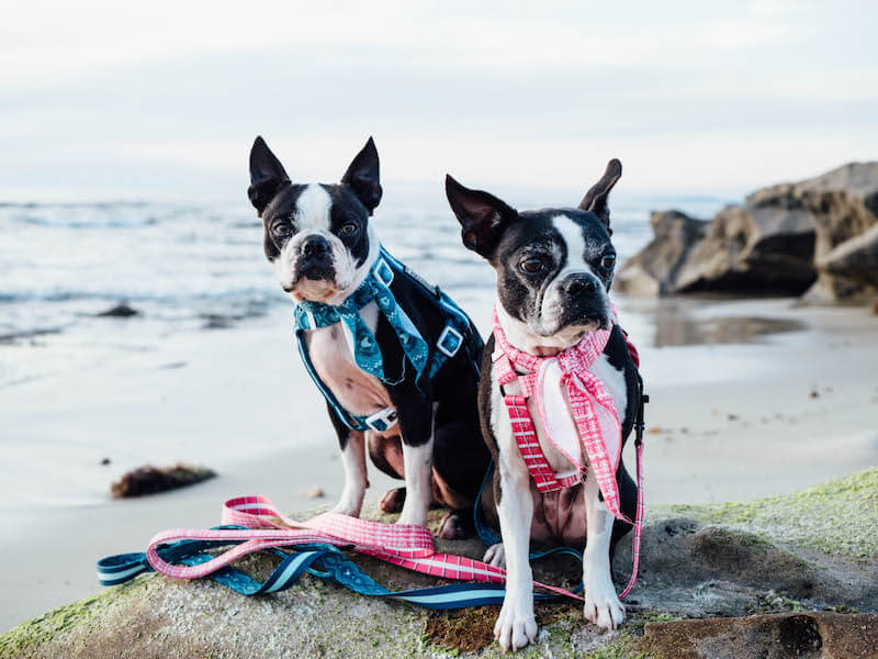 Why Are Boston Terriers So Gassy and What Can You Do About It?