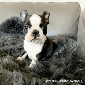 boston-terrier-ear-tips-flipped-back