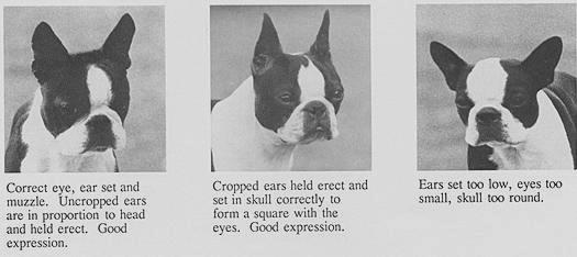 boston terrier ears standard