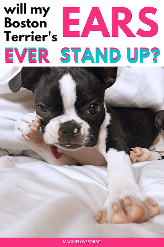 when-will-boston-terrier-ears-stand-up