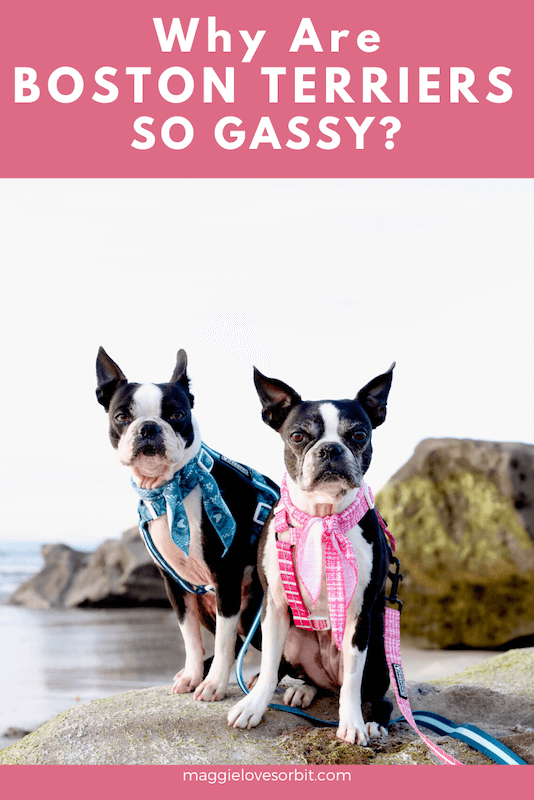 why-are-boston-terriers-so-gassy