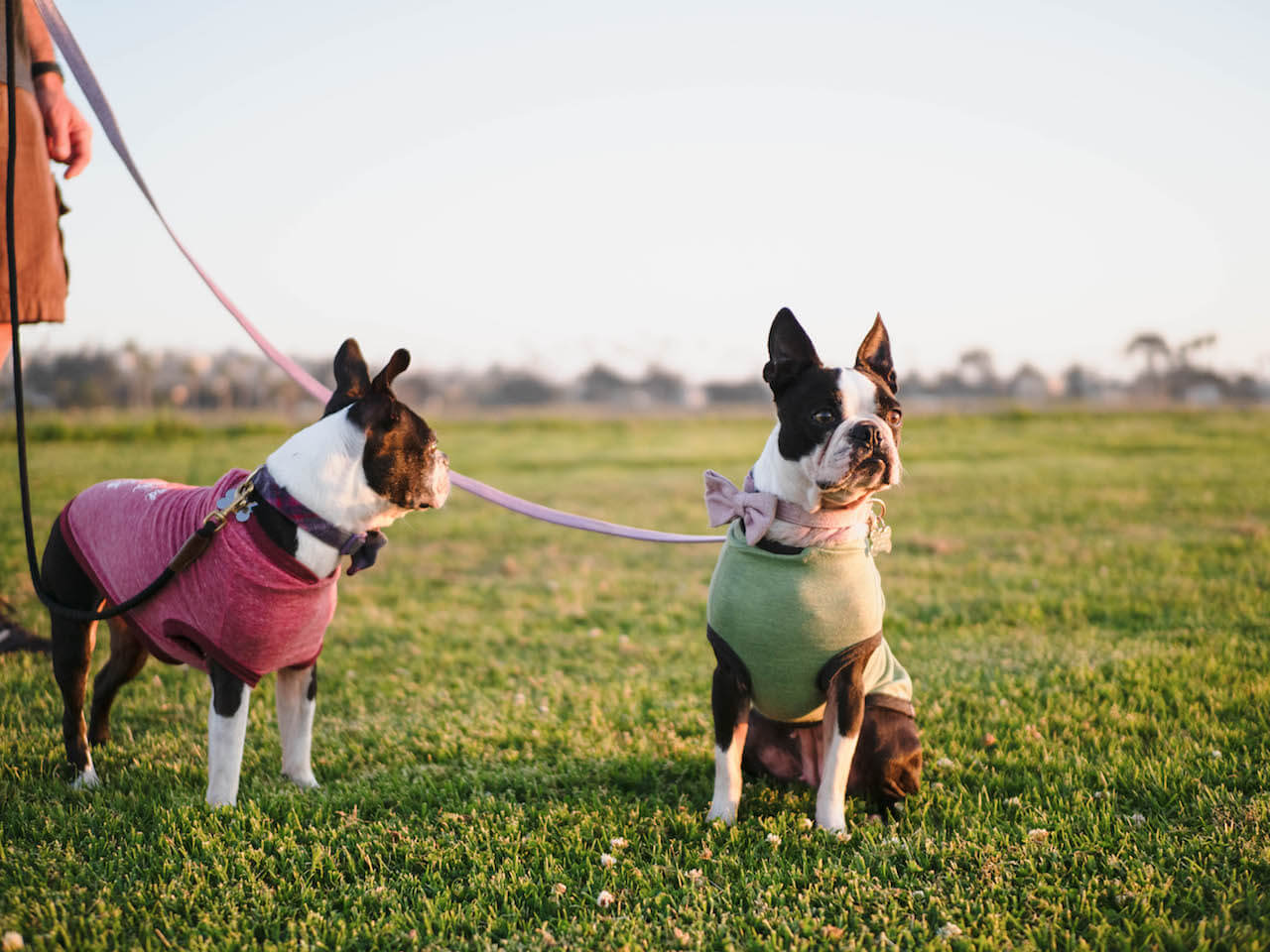 Can I Afford My Boston Terrier?  How Much Will I Spend Each Year?