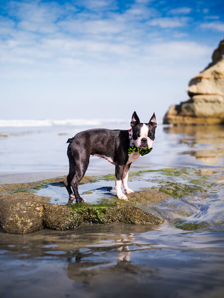 how-big-will-my-boston-terrier-puppy-get-photo-at-1.5-years-old