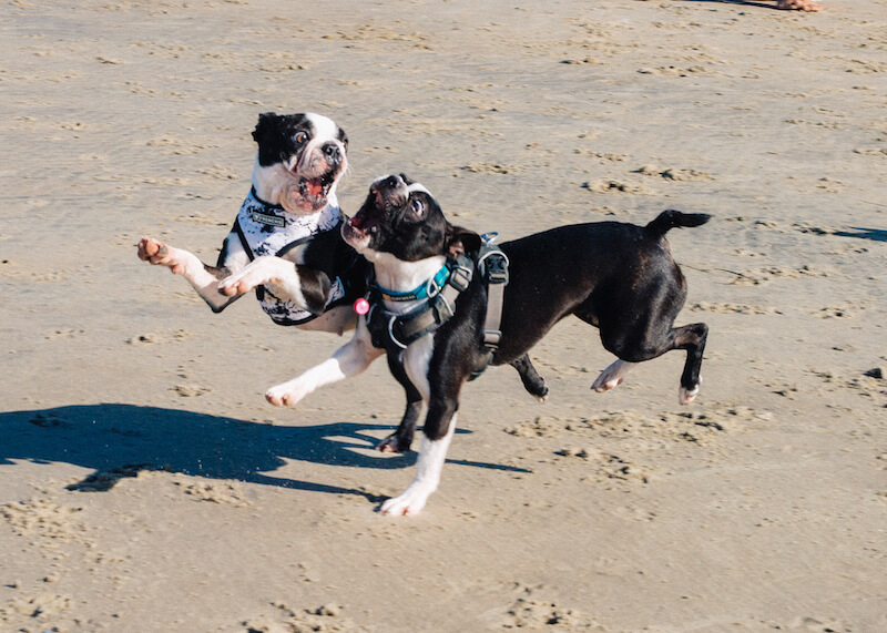 how-big-will-my-boston-terrier-puppy-get-early-spay