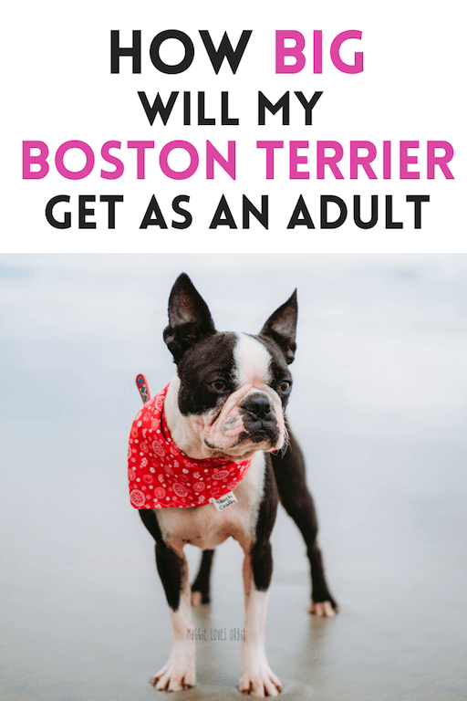 how-big-will-my-boston-terrier-puppy-get