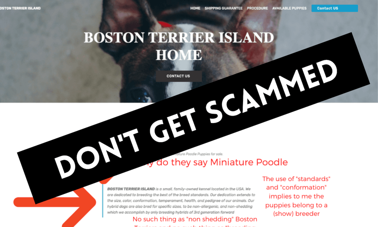 "Don't get scammed by a ""Boston Terrier Breeder Near Me"""