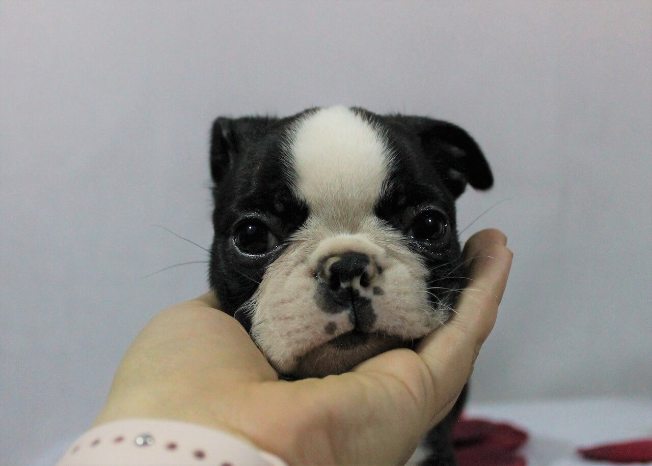 Buying a Boston Terrier Puppy:  Everything You Need To Know