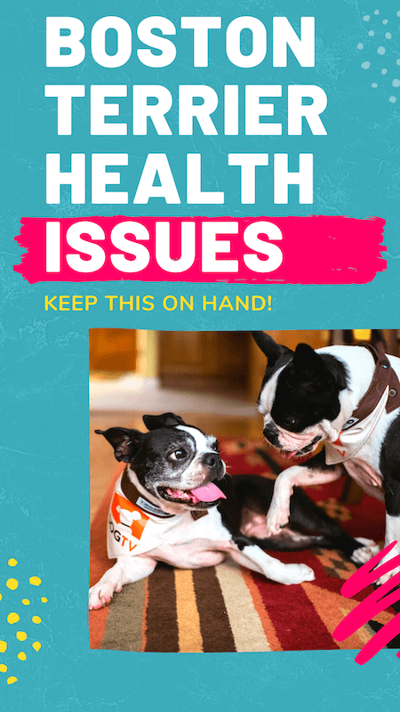 boston-terrier-health-issues