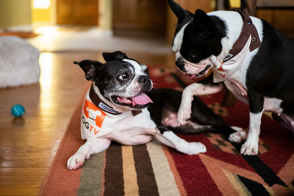 5 Crazy Facts About Boston Terrier Lifespans (and 10 Tips to Increase It)