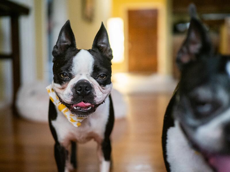 boston-terrier-lifespan-1