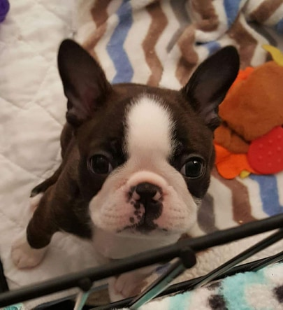 Boston Terrier Colors Explained