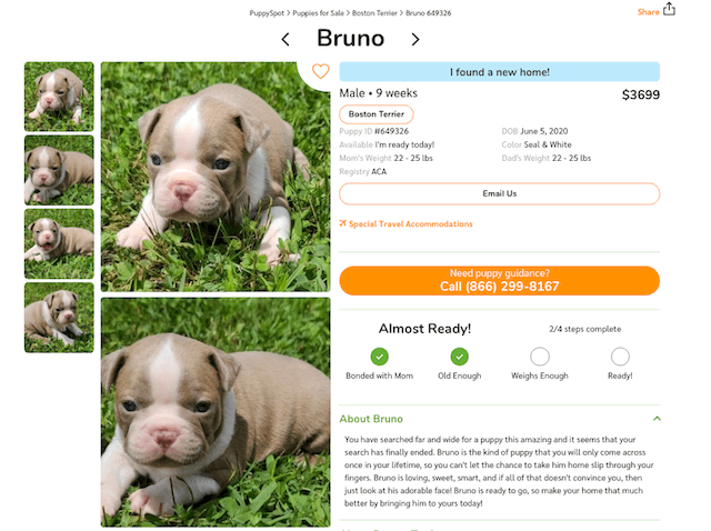 cream-boston-terrier-puppy-for-sale