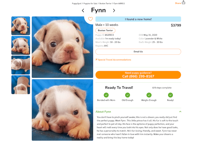 lavender-and-white-boston-terrier-puppy-for-sale