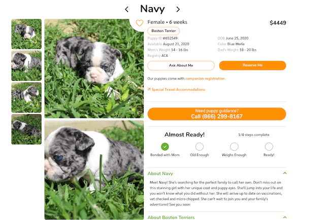 merle-boston-terrier-puppy-for-sale