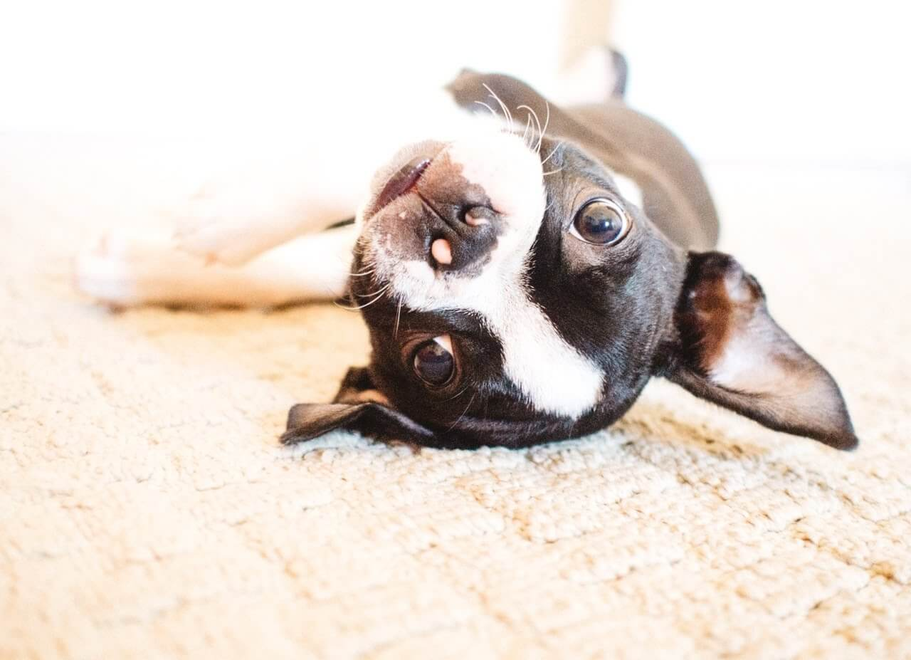 what to know before bringing a boston terrier puppy home