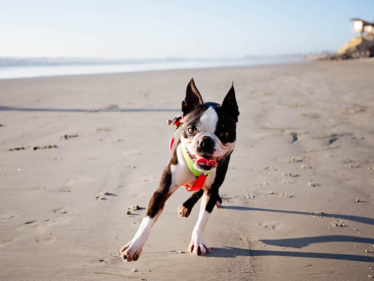 are-boston-terriers-good-apartment-dogs