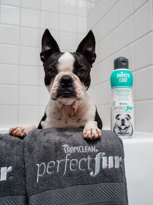 Shampoo To Reduce Shedding For Your Smooth Coat Dogs