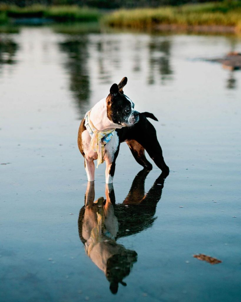 best strap harness for a boston terrier
