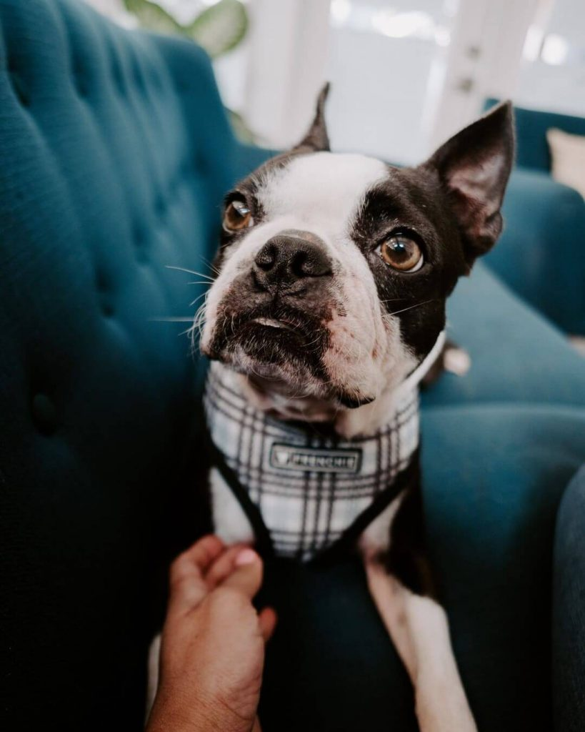 best harness for a boston terrier