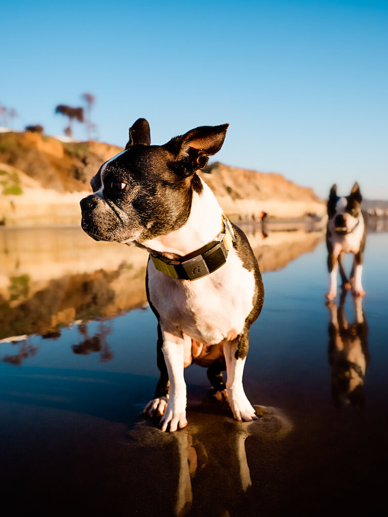 Boston Terrier wearing a Fi Dog Collar at the beach during low tide