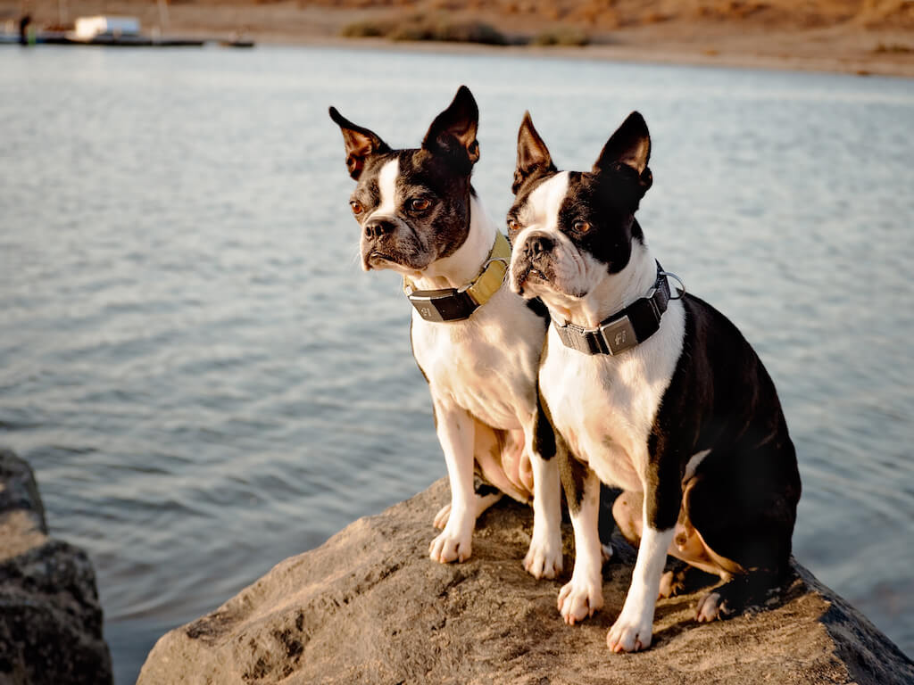 14 Reasons Why I Love The Fi Dogs Collar For My Boston Terriers