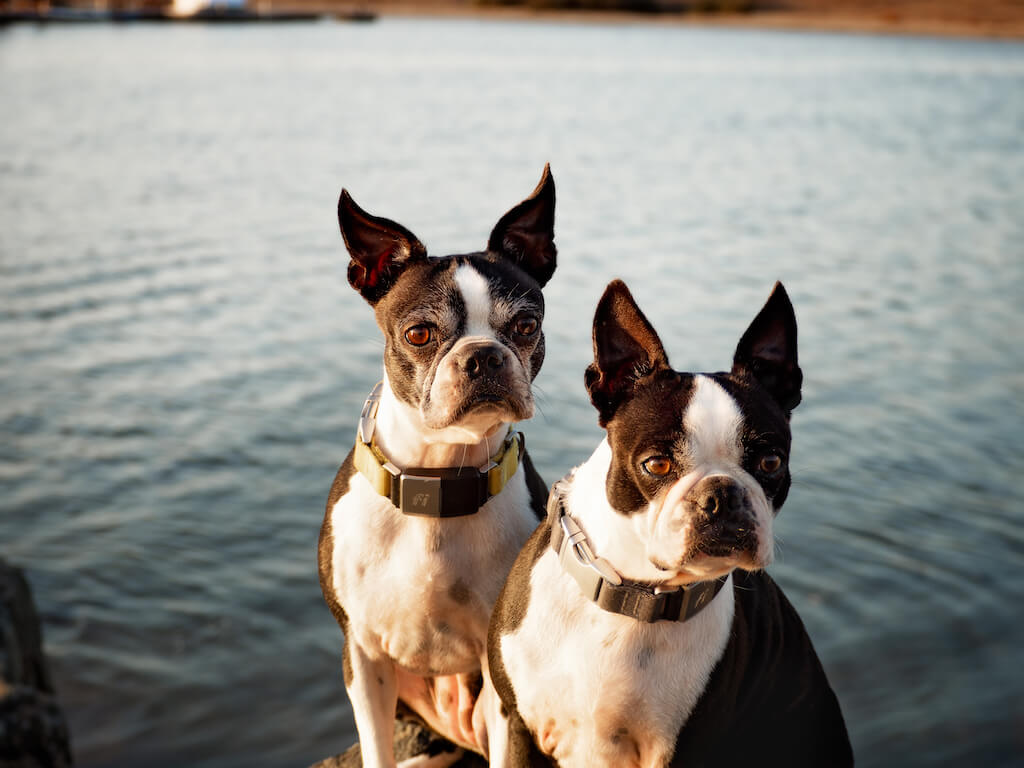 Fi Dogs What It Looks Like On A Small Dog - Boston Terrier