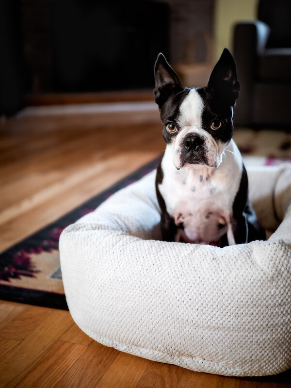 how to get my boston terrier's coat and fur to grow back