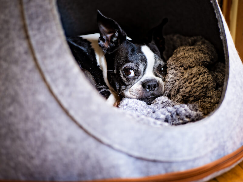 11 Practical Home Remedies To Help Your Boston Terrier's Fur Grow Back In Three Months