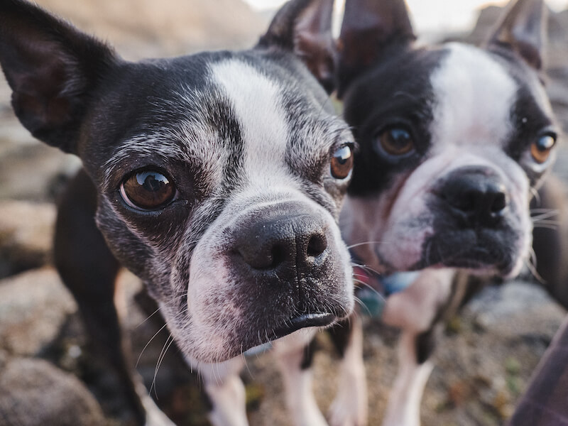 Why I Switched My Boston Terriers To Raw Food