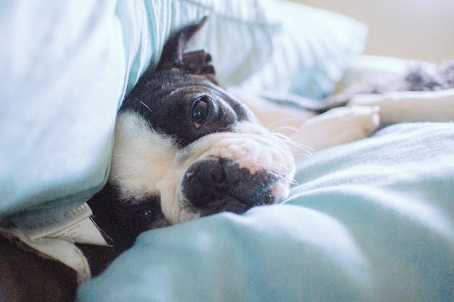 Is There Such A Thing As a Teacup Boston Terrier?