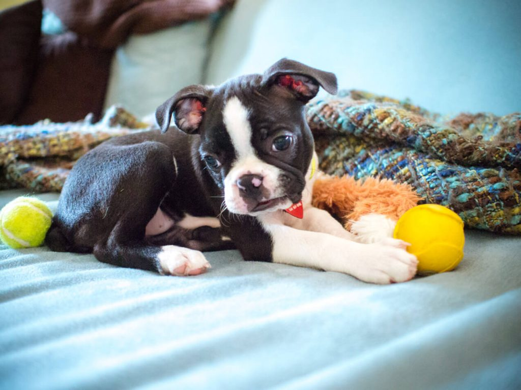 How Much Do Boston Terrier Puppies Cost?